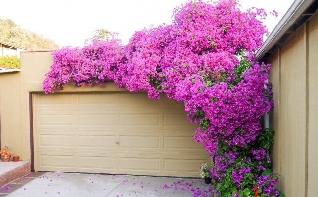 bougainvillea-beauty-of-paper-petals